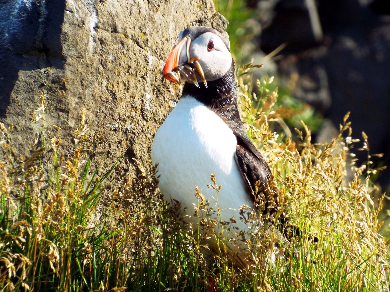 Puffin with mouthful of fish